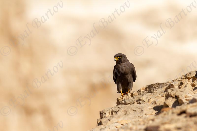 2.Sooty Falcon (Falco concolor) - בז שחור