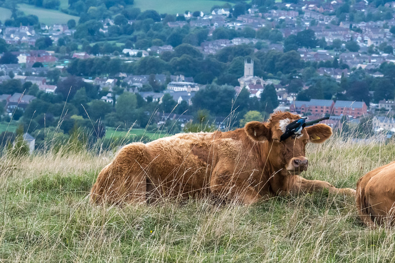 Cow peckers-9259.jpg