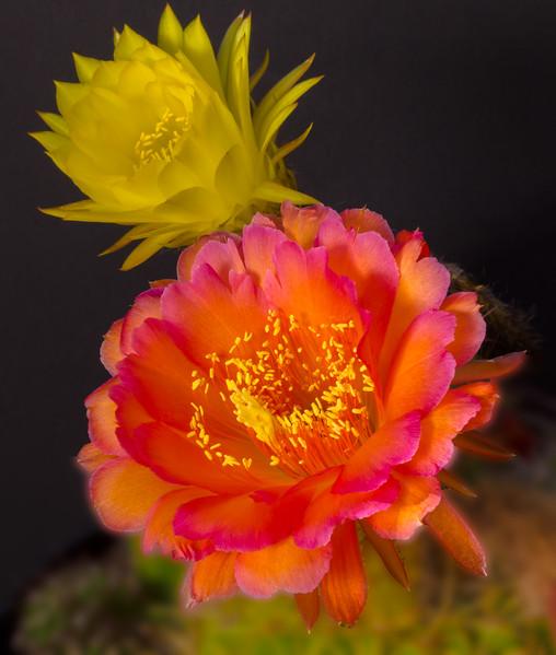 Cactus Flowers 5-10-2017a.jpg