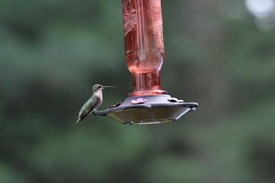 2019_07_01 Hummingbirds