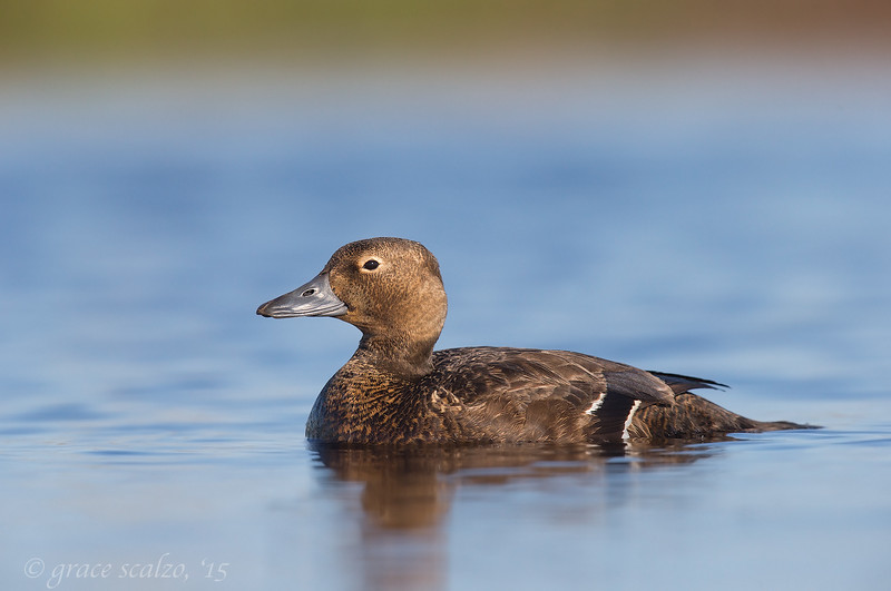 Steller's Eider Hen on calm tundra pond