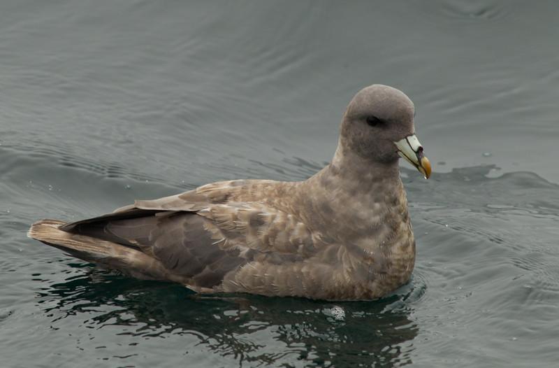 Northern Fulmar  Monterey 2011 09 22-2.CR2