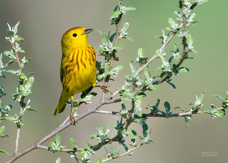 Yellow Warbler, Standing Bear Lake, NE, USA, May 2018-2.jpg