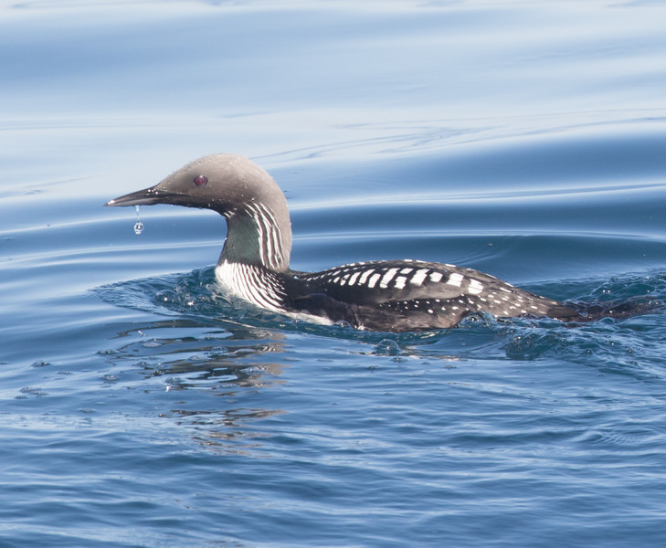 Pacific Loon San Diego Waters 2014 04 17-2.CR2