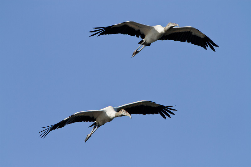 Wood stork pair soaring