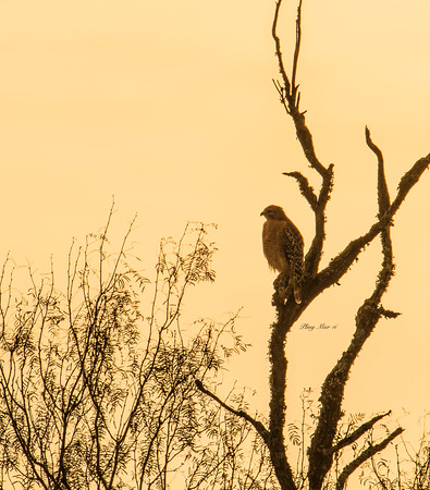 Red-shouldered sunrise_DWL3534.jpg