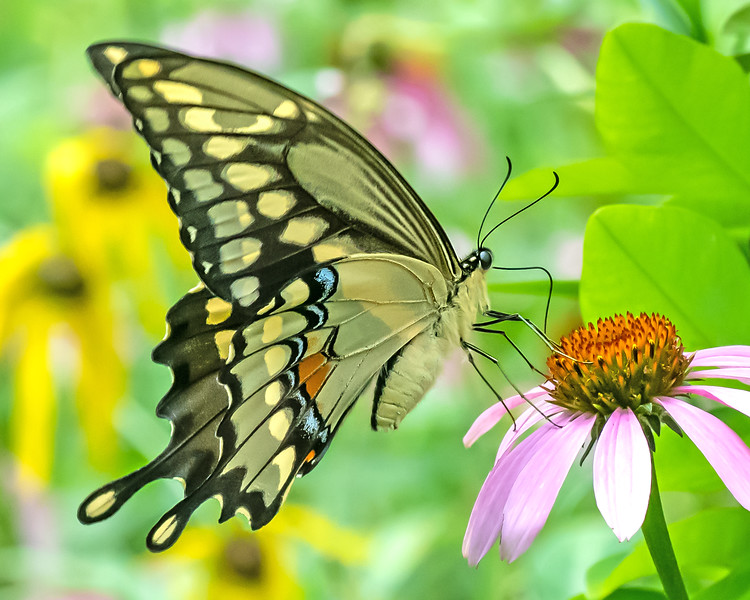 Yellow Swallowtail Butterfly on Cone Flower