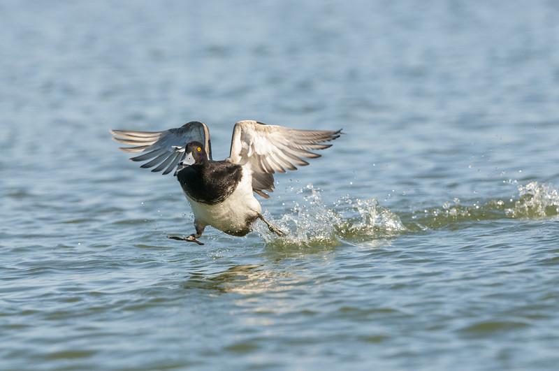 Lesser Scaup Drake Water Walking.jpg