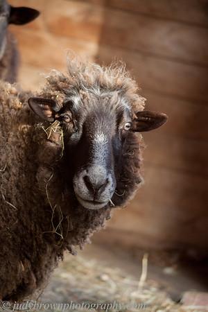 170208 new sheep