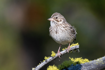 Vesper's Sparrow