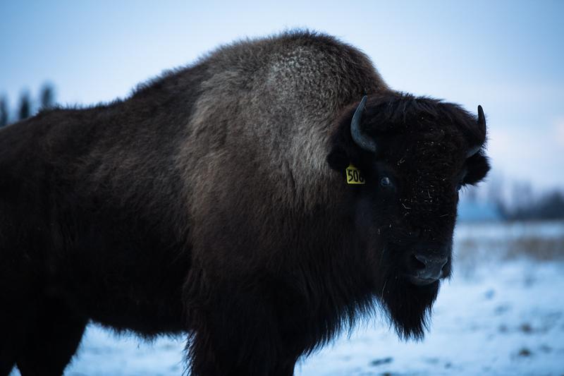 AHP171212_buffalo1518.jpg