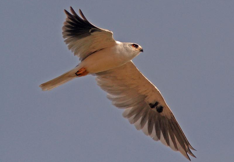 White-tailed Kite, Las Gallinas