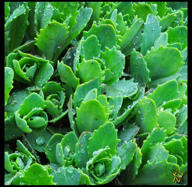 Dew Plant.JPG