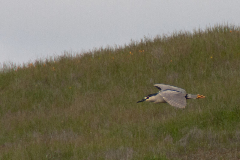 Night Heron 2: (Nycticorax nycticorax), watching the terrain change  [see Night Heron 1 for explanation]