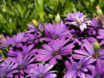 Osteospermum - Akila Purple