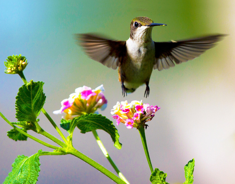 Ruby-throated humming bird, 4
