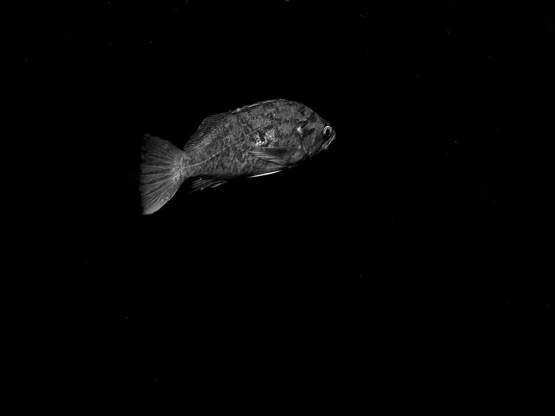 Blue Rockfish taken during safety stop on the edge of kelp at Purrisima point CA,