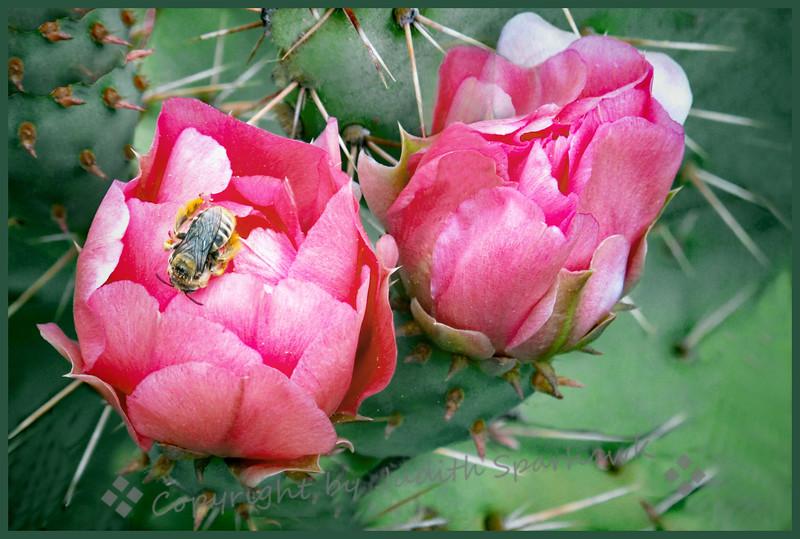 The Cactus & the Bee - Judith Sparhawk