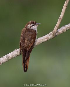 Banded Bay Cuckoo (Cacomantis sonneratii)