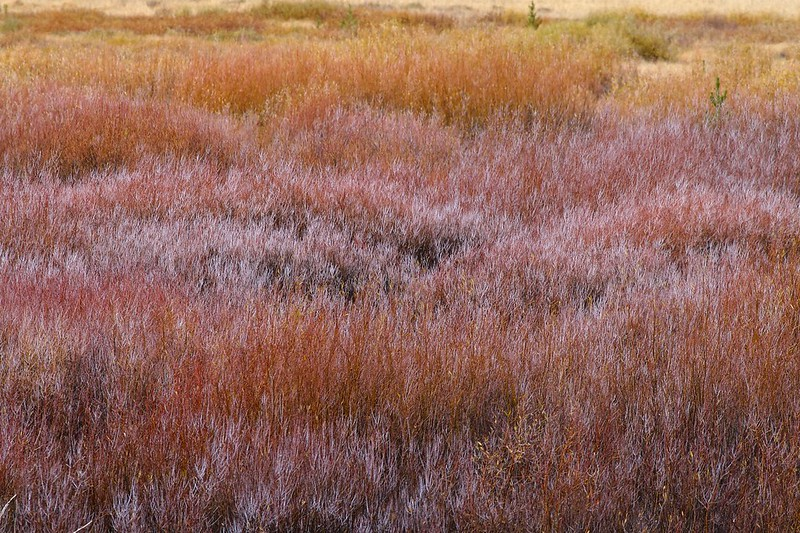 Willows add a bright pallette to the flats along creeks [September; Yellowstone National Park, Wyoming]