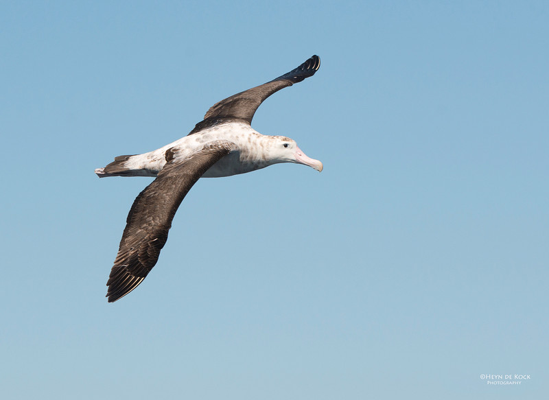Antipodean Albatross, Wollongong, NSW, Aus, Aug 2013.jpg