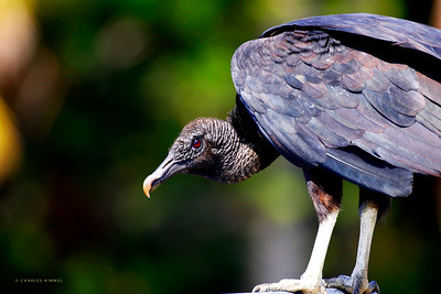 Vultures: 2019