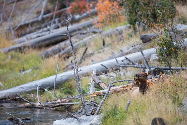 Elk Rut (Fall 2014)