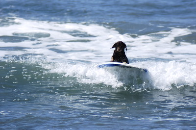 SURFING DOGS * 2019