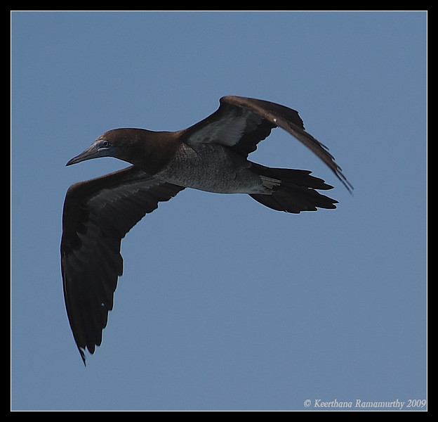 Brown Booby, Islas Coronados, Mexico, March 2009