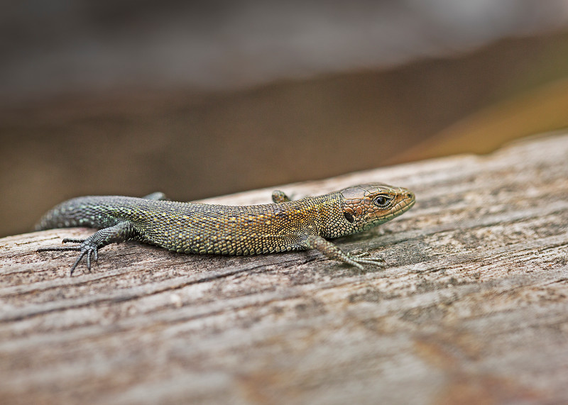 Common Lizard (juvenile)