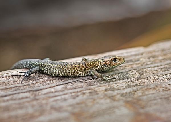 UK Reptiles  / Amphibians