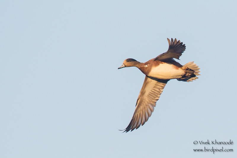 American Wigeon in flight - Bird Haven Ranch, Butte City, CA, USA