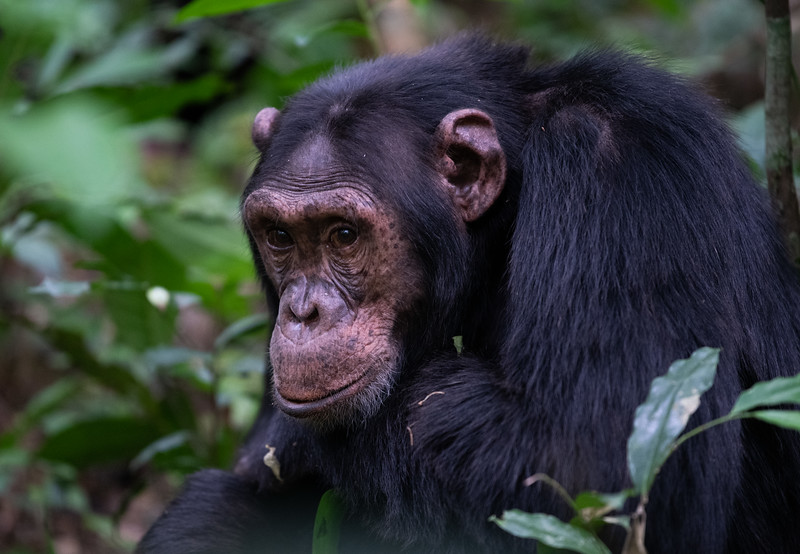 Uganda_T_Chimps-591.jpg