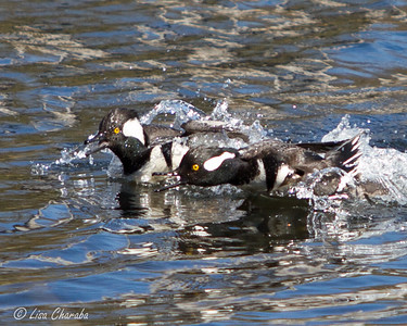 2013 Hooded Merganser Males Challenging
