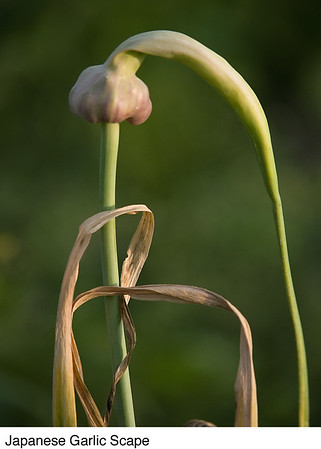 Garlic Bulbils are clones of the parent plant.