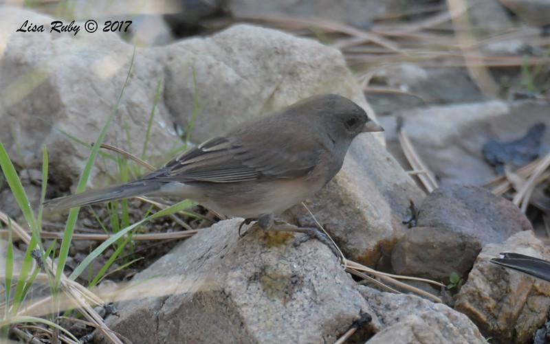 Dark-eyed Junco (Got help with this, was told either young female brownish Slate-colored or a cismontanus which is Slate-colored x Oregon) - 10/19/2017 - Wickwood Lane, Prescott, AZ