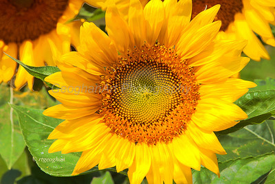 Sunflowers NJ 2012