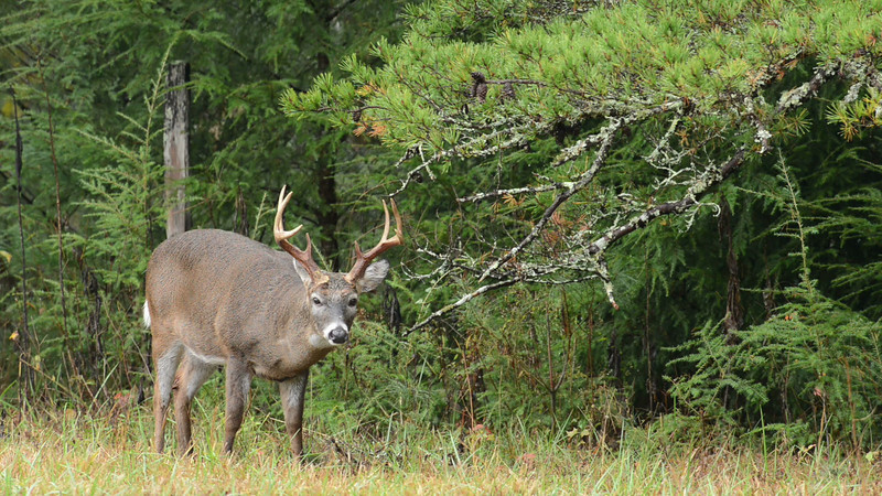 whitetail_buck_02.mov