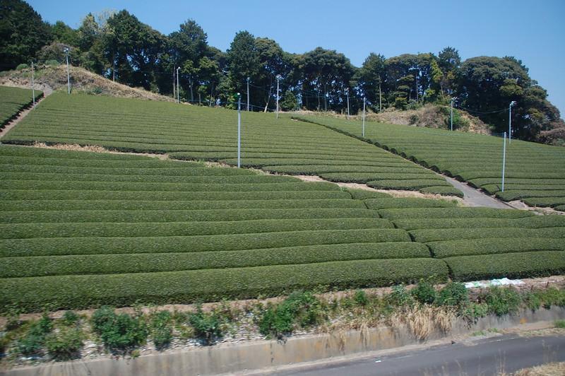 Tea grown on hillside in Shizuoka Prefecture