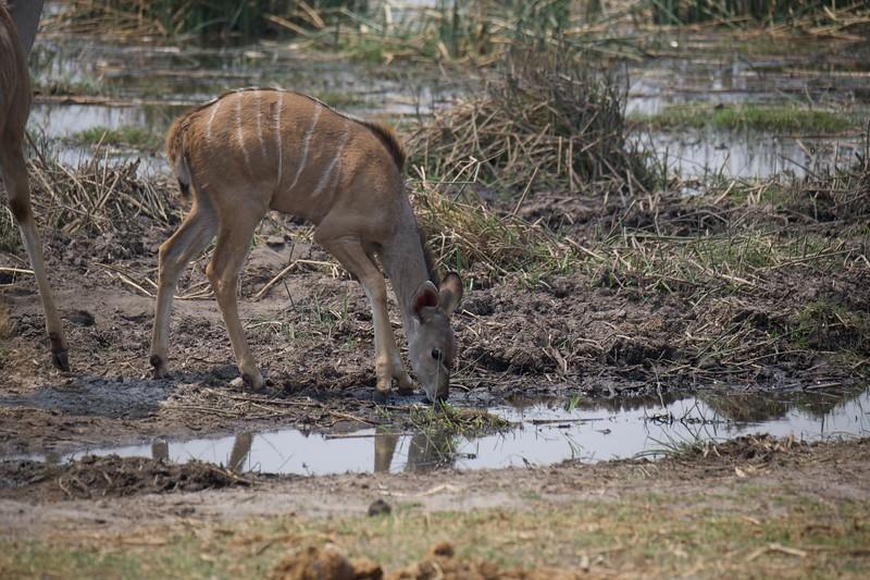 Kudu, Selinda Explorer camp, Botswana