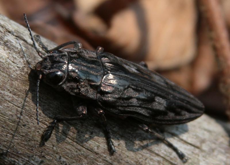 sculptured beetle 3.jpg