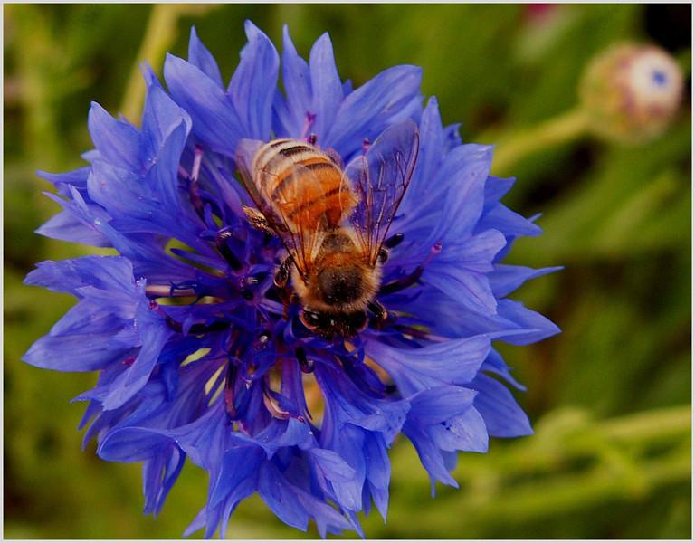 NEW Bee on a European Blue Cornflower, Kingwood Library, SMALL,  4-17-05.jpg
