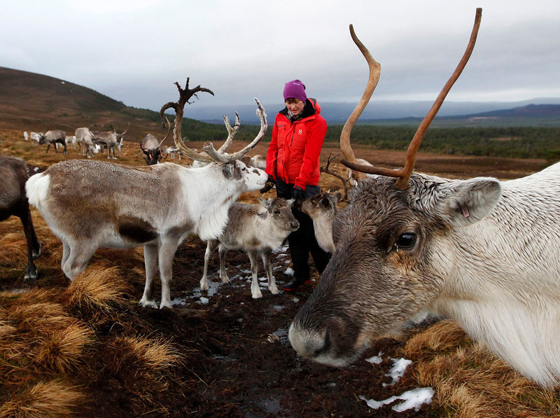 . Reindeer gather around herder Anna Jemmett, from the Glenmore Reindeer Centre, to eat lichen from her hands in the Cairngorm Mountains near Aviemore, Scotland December 28, 2012. The 150 strong Cairngorm Reindeer Herd is Britain\'s only herd of reindeer. REUTERS/David Moir