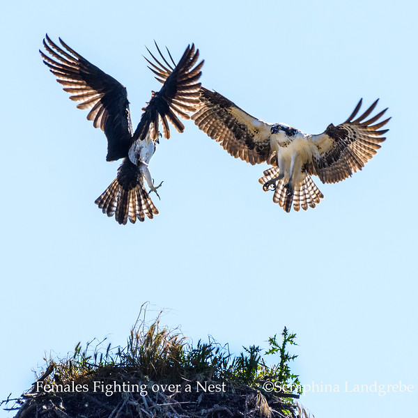 _DSC7894Two females fighting over nest.jpg