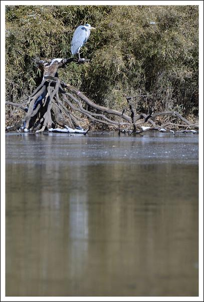A blue heron at Otama pond