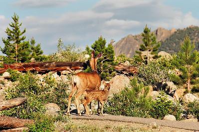 Rocky Mountain Bambis