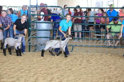 Lamb showing