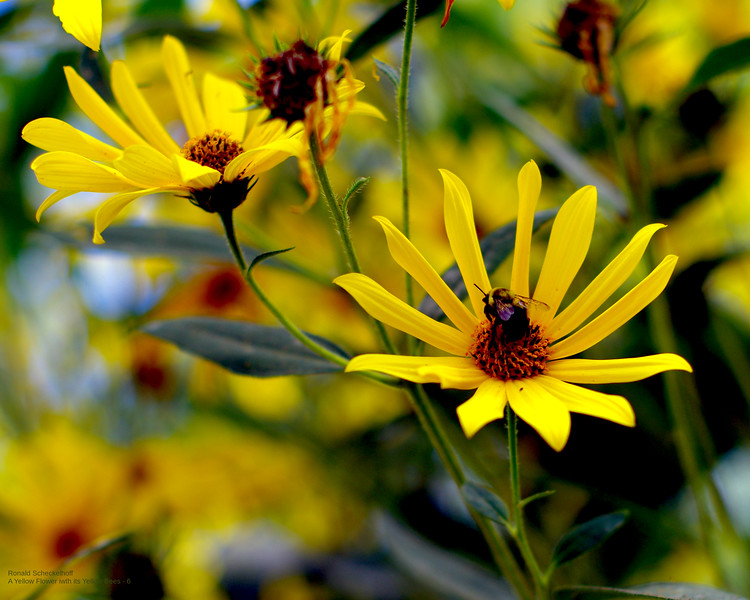 yellow-flower-and-its-yellow-beeE-3000px.jpg