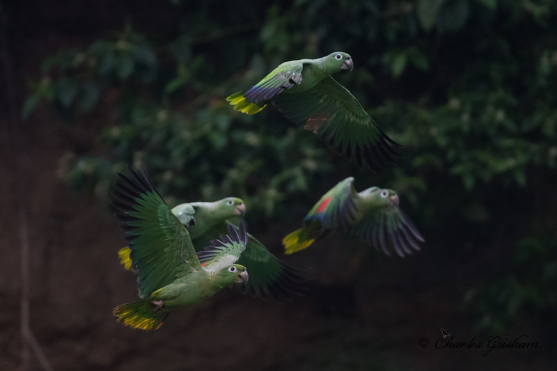 parrots amazon ecuador february 2019.jpg