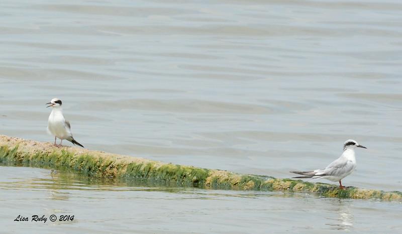 Forster's Terns - 7/27/2014 - Salton Sea